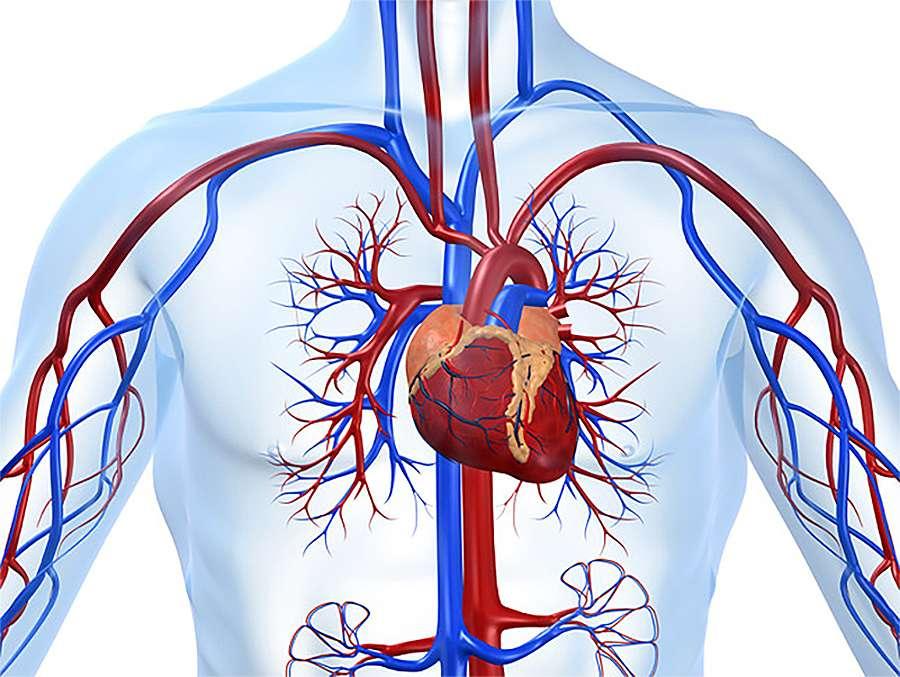 Как восстановить сердечно-сосудистую систему после запоя
